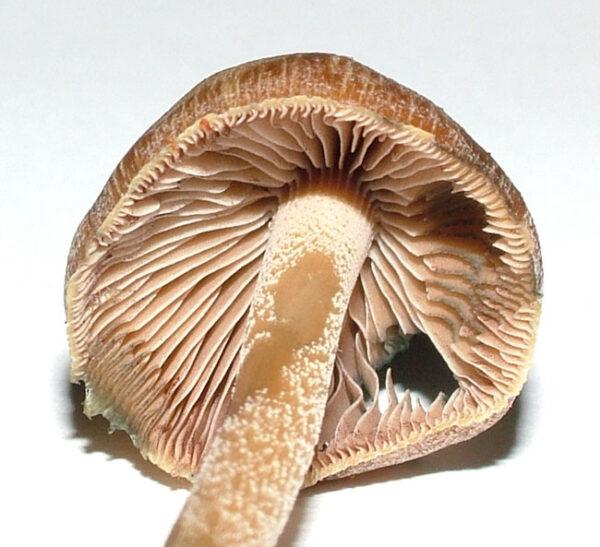 Psilocybe Aucklandii mushrooms
