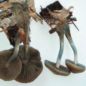 Psilocybe allenii mushrooms